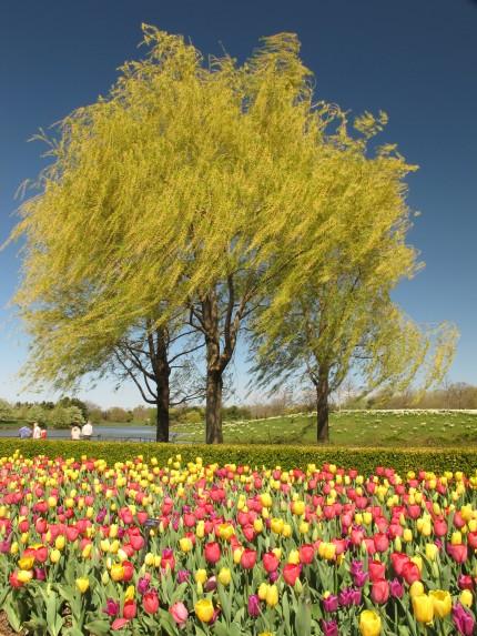 Willow Tree- Landscape
